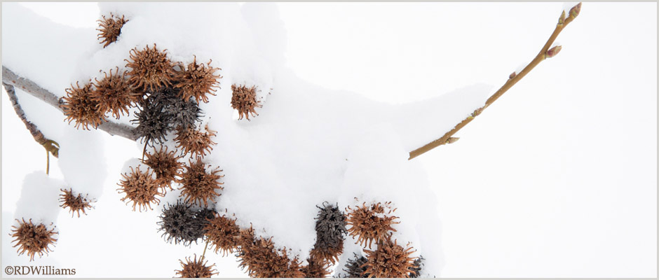 Liquidambar-styraciflua-Fruits-in-Winter_©RDWilliams__RDW1413-clip1